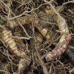rhizomes de miscanthus giganteus