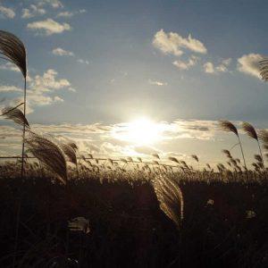 coucher de soleil sur le miscanthus